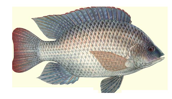 Tinjauan Umum Mengenai Ikan Nila Pakan Alternatif Ternak